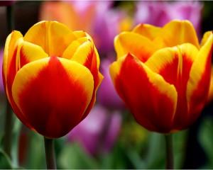 rp_tulips.jpg